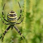 Te pająki masowo wylęgają się w Polsce właśnie teraz. Są jadowite!