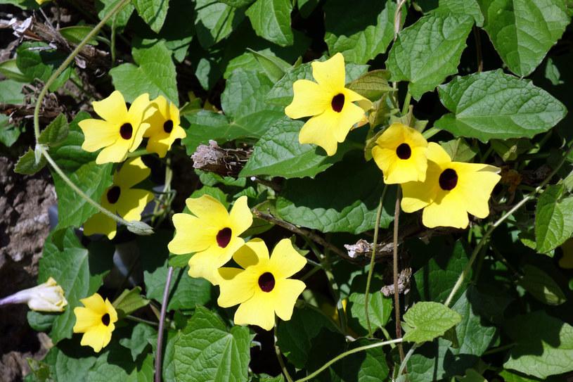 Te piękne kwiaty na pewno zwrócą uwagę niejednego przechodnia /123RF/PICSEL