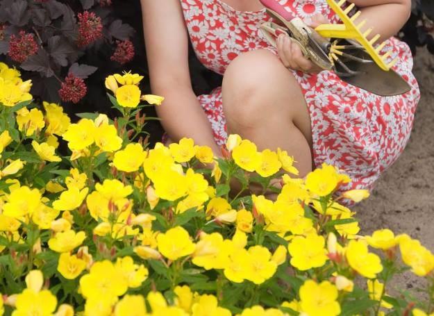 Te urocze kwiaty możesz posadzić w swoim ogródku /123RF/PICSEL
