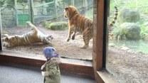 Tego tygrysa lepiej nie wyrywać ze snu
