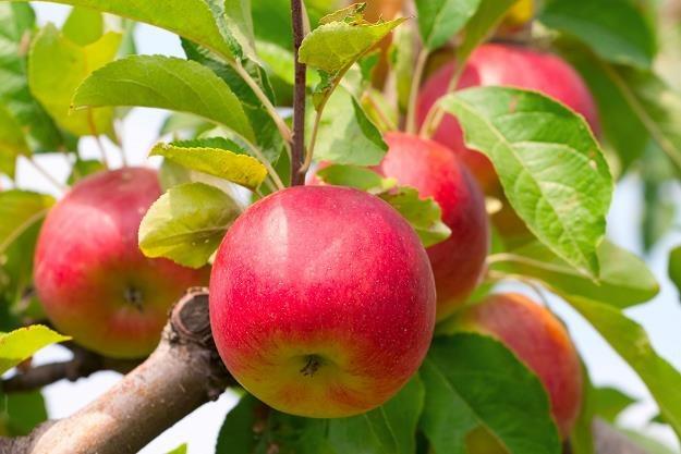 Tegoroczne jabłka kosztują 3 - 3,5 zł/kg /©123RF/PICSEL