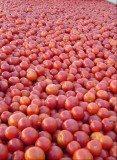 Tegoroczne pomidory są wyjątkowo smaczne /materiały prasowe
