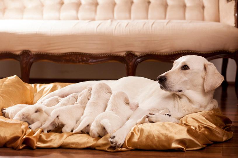 Temperatura ciała u karmiących suk i szczeniaków może wynosić 39 stopni Celsjusza