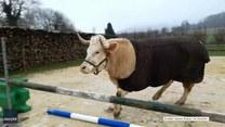 Ten byk uwielbia skakać przez przeszkody