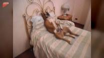 Ten czworonóg uwielbia spać w takiej pozycji
