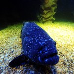 Ten gatunek ryb zagrożony jest wyginięciem