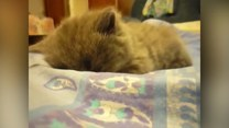 Ten kot jest uosobieniem poniedziałku