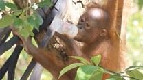 Ten mały orangutan skradnie każde serce