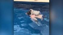 Ten mops nie jest fanem pływania. Jak więc przedostanie się na drugą stronę basenu?