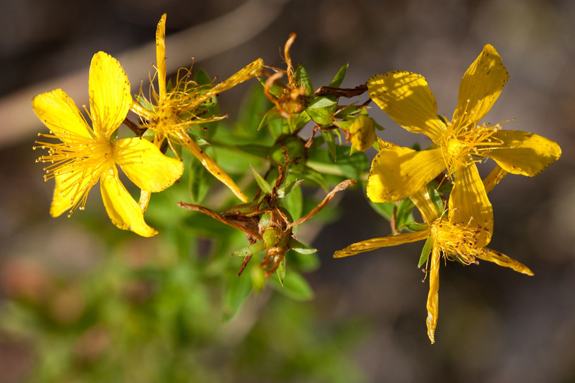 Ten niepozorny kwiat ma w sobie wielką moc /123RF/PICSEL