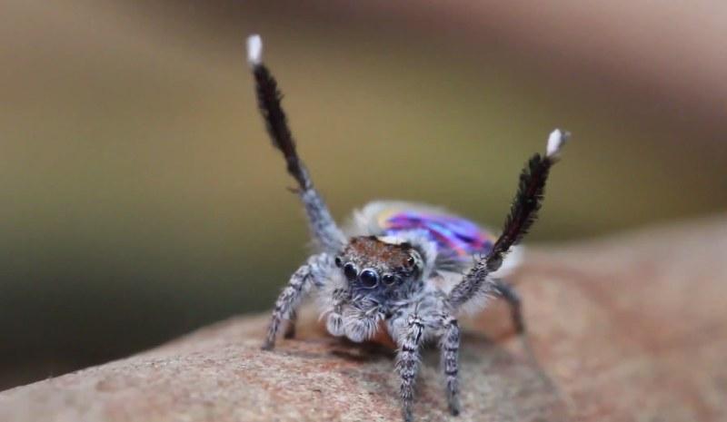 Ten pająk naprawdę potrafi tańczyć! /Dario Trovato /YouTube