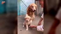 Ten pies nie chce nigdzie puścić swojej córki
