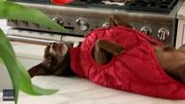 Ten pies postanowił odpocząć... na kuchennym blacie!