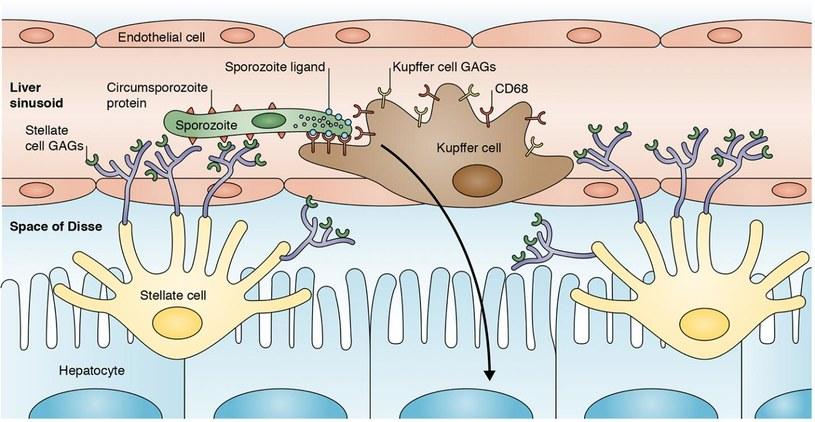 Ten rysunek pokazuje jak zarodźce malarii dostają się do komórek wątroby /materiały prasowe