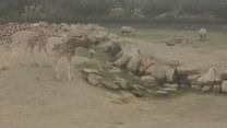 Ten zając sprowadził żyrafę na ziemię