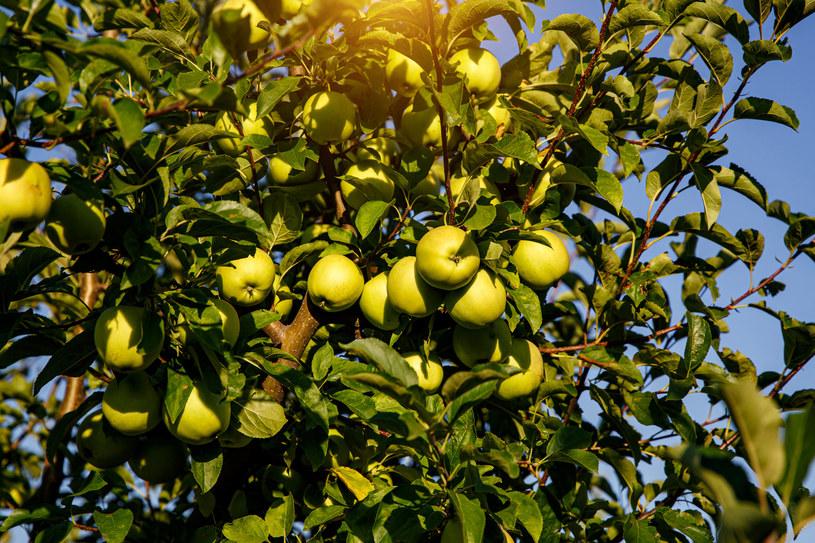 Termin przycinania jabłoni zależy od odmiany /123RF/PICSEL