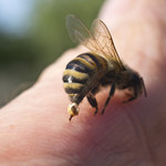 Testy szczepionki dla uczulonych na jad pszczół