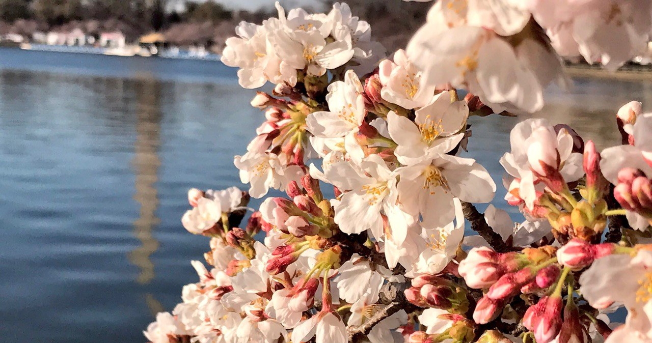 Tidal Basin - to wiosną najpiękniejsze miejsce w Waszyngtonie