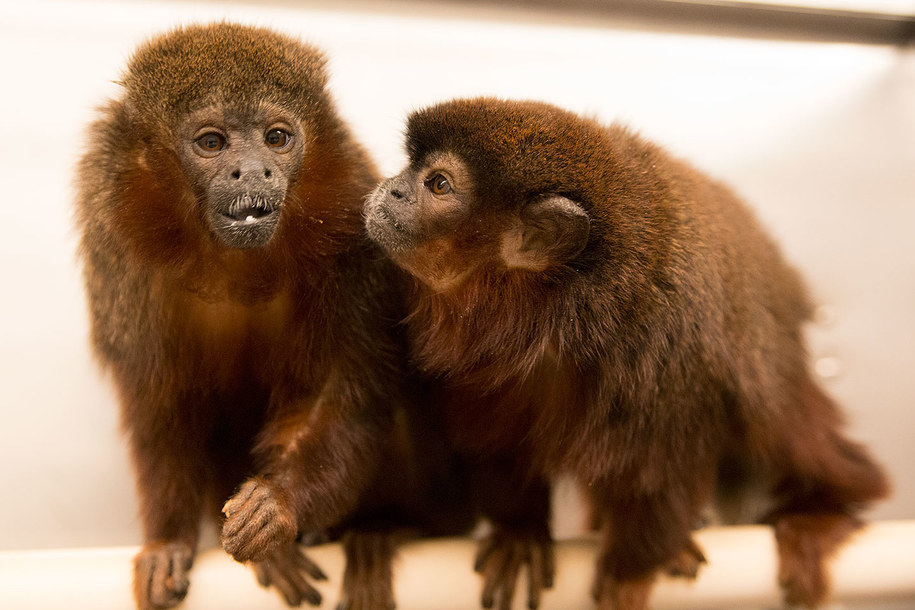 Titi miedziane z California National Primate Research Center /K.West/CNPRC /Materiały prasowe