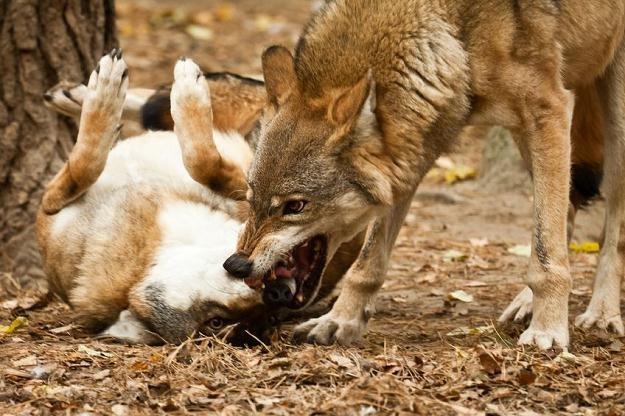 TK zwiększył odpowiedzialność SP za zniszczenia spowodowane przez żubry, wilki, rysie i niedźwiedzie /©123RF/PICSEL
