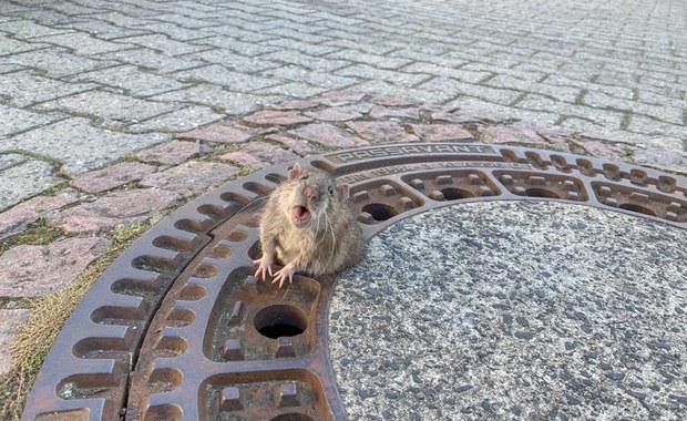 """Tłusty szczur utknął w klapie studzienki. """"Bioderka mu nie przeszły"""""""