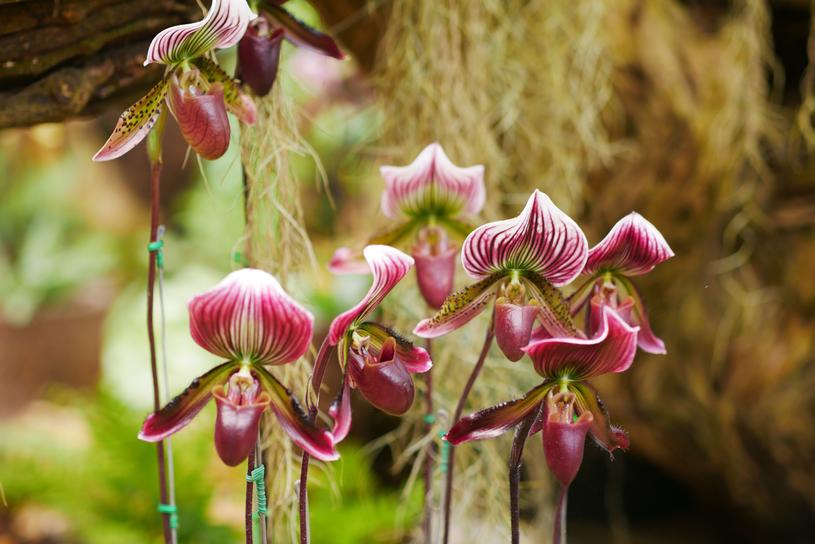 To bardzo towarzyska  roślina. Najlepiej  się czuje w  grupie innych sabotków /123RF/PICSEL