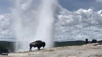 To dopiero widok! Bizon na tle wybuchającego gejzeru w Parku Narodowym Yellowstone