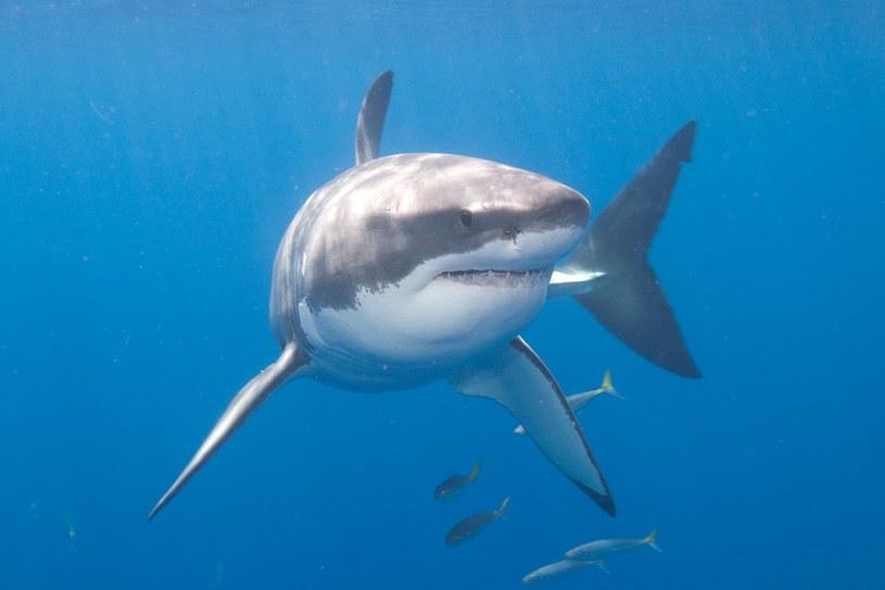 To drugi śmiertelny atak rekina w Australii w ciągu tygodnia i co najmniej piąty w tym roku. /123RF/PICSEL
