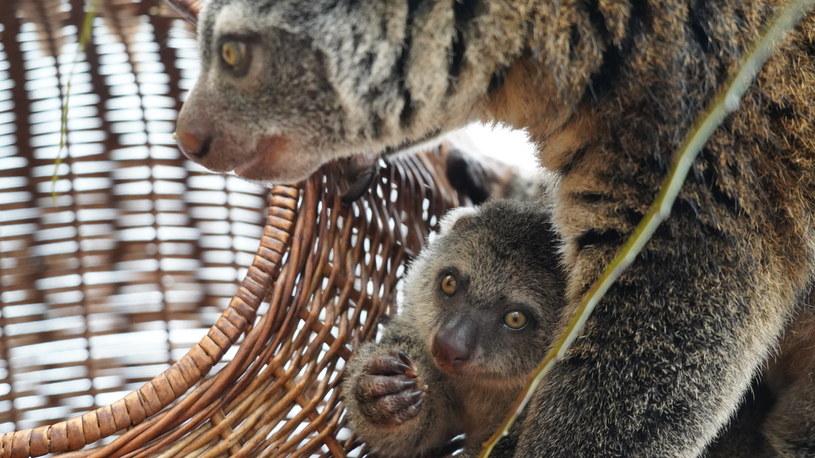 To kolejne narodziny kuskusa niedźwiedziego we wrocławskim zoo /Zoo we Wrocławiu