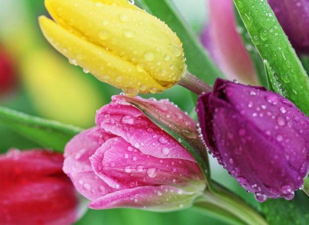 To najlepsze tulipany na bukiety! /123RF/PICSEL