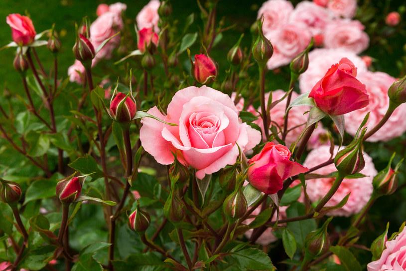 To najlepszy czas na sadzenie róż /123RF/PICSEL