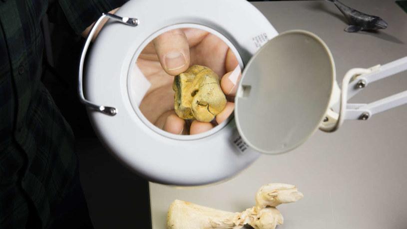 To najstarsza znaleziona kość wala karłowatego /Fot. Museums Victoria /materiały prasowe