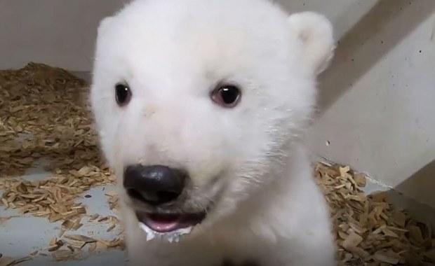 """""""To samiczka!"""". Berlińskie zoo ogłosiło płeć niedźwiedzia polarnego"""
