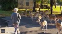 To stado jeleni stawia się codziennie rano na śniadanie przed teksańskim domem