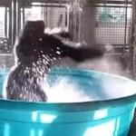 To wideo podbija sieć! Goryl tańczy w kąpieli w zoo w Dallas