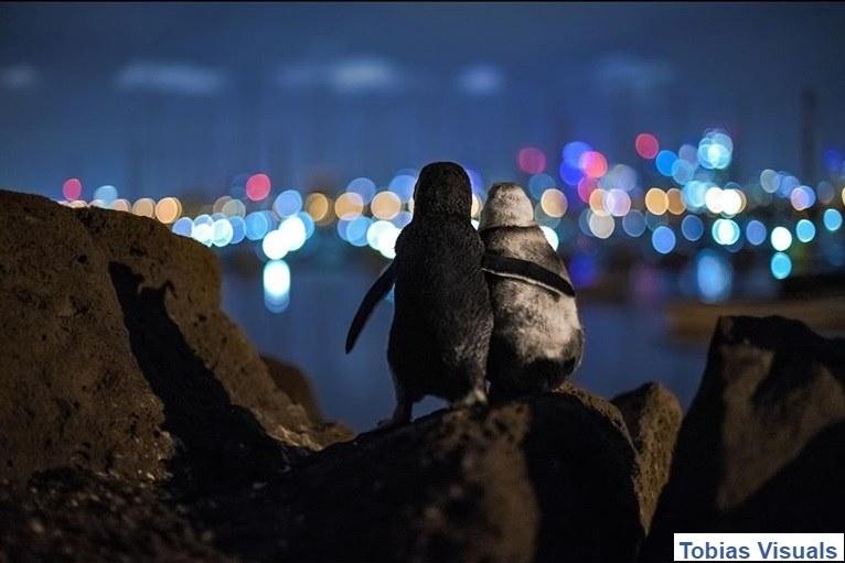 Tobias Baumgaertner sfotografował pingwiny w Melbourne /Tobias Baumgaertner /Interia/ Facebook