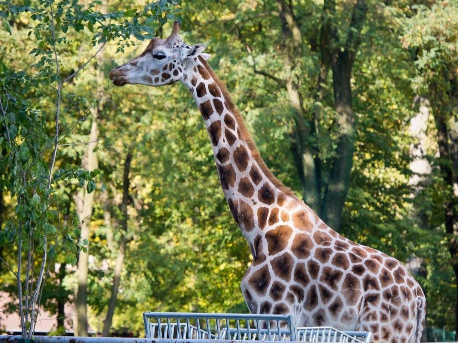 Tofik był jedynym samcem wśród żyraf w łódzkim zoo /PAP /PAP