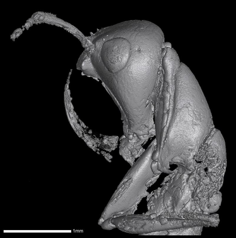 Tomogram jednej z piekielnych mrówek /Wikimedia Commons /domena publiczna