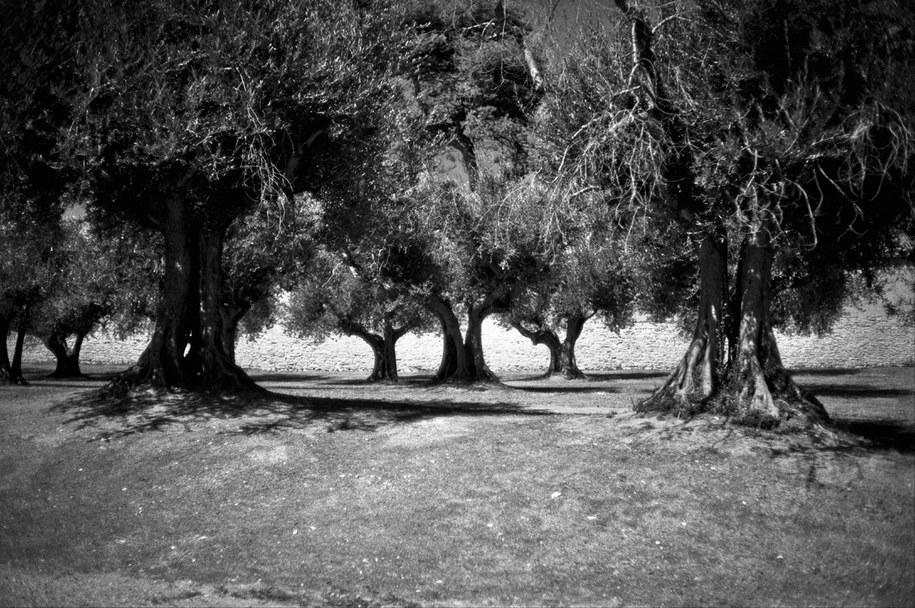 Toskańskie drzewa /Bogdan Frymorgen /RMF FM