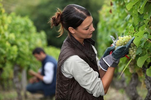 Tradycje winiarstwa na Ziemi Lubuskiej sięgają XIII wieku /©123RF/PICSEL