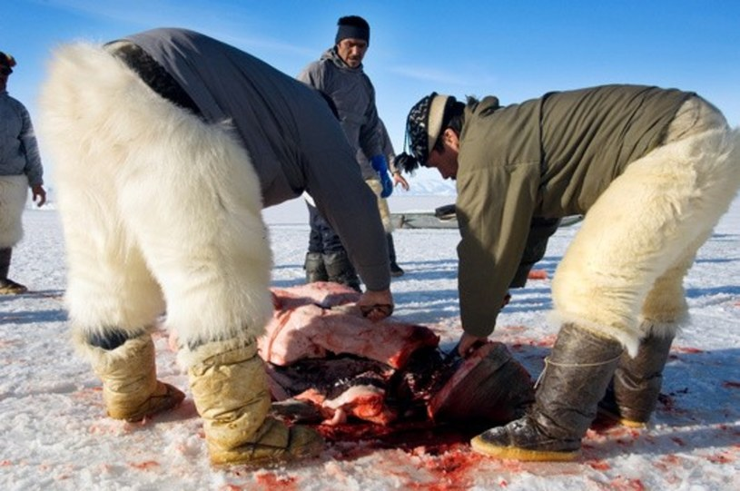 Tradycyjne polowanie na foki /East News