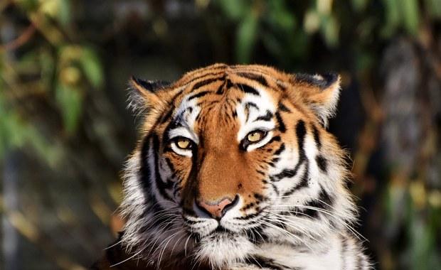 Tragiczny wypadek w Zurychu. Tygrys zabił 55-latkę na oczach pracowników zoo