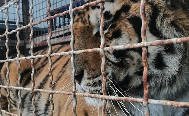 Transport z tygrysami, który utknął na granicy, nie pojedzie na Wschód