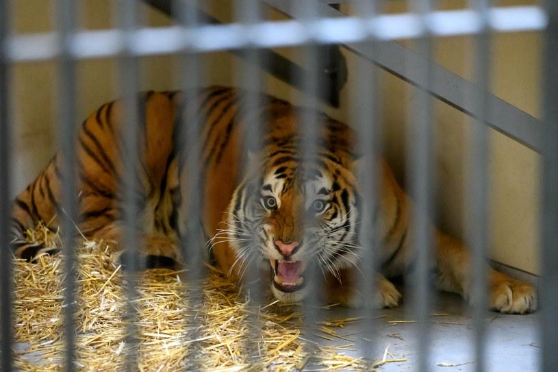 Transport z tygrysami zatrzymano na granicy polsko-bialoruskiej /Michał Kaczmarek /East News