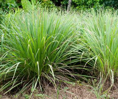 Trawa cytrynowa: Sposób na odporność i nie tylko