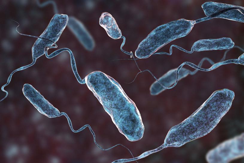 Trójwymiarowa wizualizacja bakterii wywołującej cholerę  (Vibrio cholerae) /123RF/PICSEL