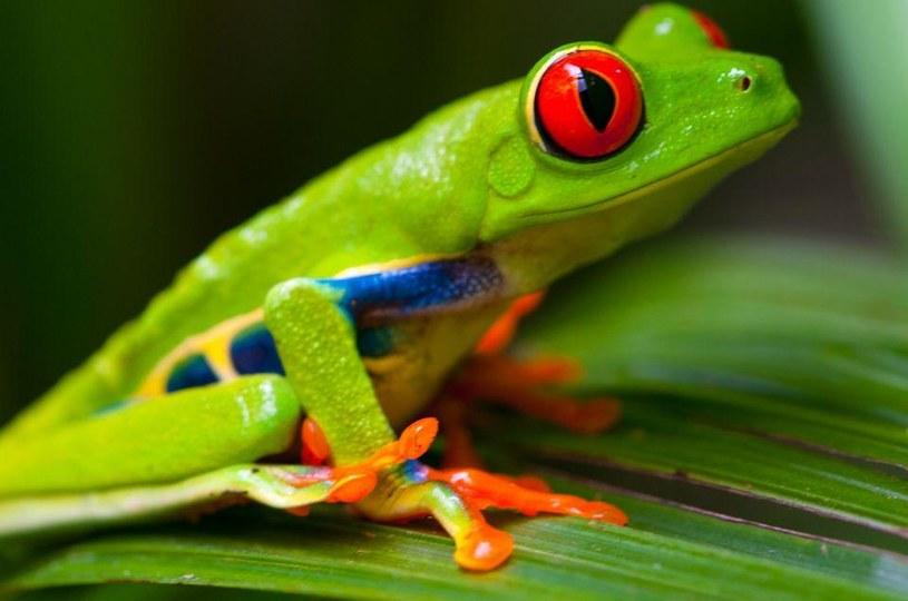Trucizne są wyłącznie żaby żyjące na wolności. Do nich lepiej się nie zbliżać /materiały prasowe