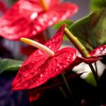 Trujące rośliny doniczkowe: Kiedy należy zachować ostrożność?