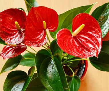 Trujące rośliny doniczkowe. Masz je w domu?