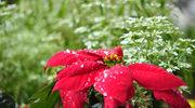 Trujące rośliny świąteczne